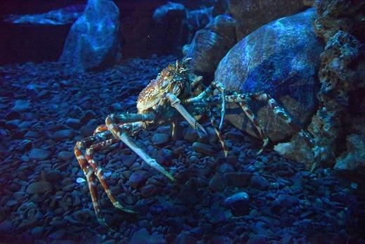 Novo recinto para crustáceos gigantes é a novidade do AquaRio (Foto: Alexandre Macieira)